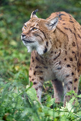 Lynx looking a bit up