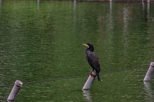 Un oiseau sur l'étang de Shinobazu dans le parc Ueno à Tokyo