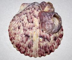 Argopecten gibbus with encrusting barnacles (Atlantic calico scallop shell) (Sanibel Island, Florida, USA) 4