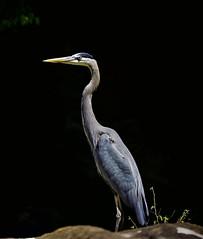 Great Blue Heron (enhanced with Topaz AI tools)