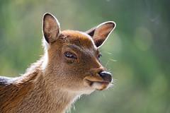 Cute female deer