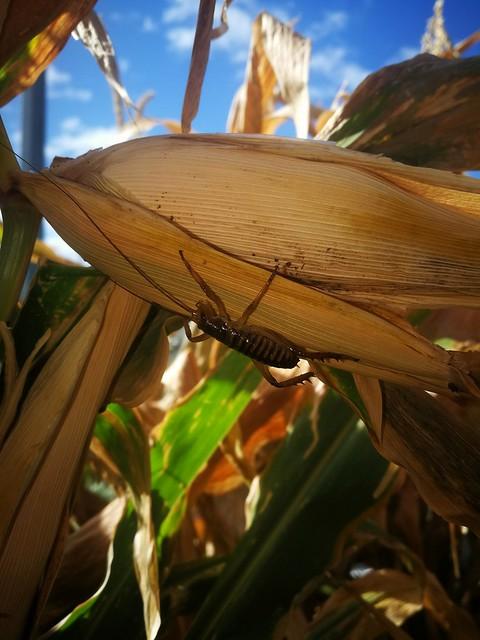 Wētā in the corn
