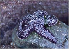 sheltered starfish