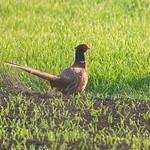 Common pheasant (male), bažant obecný (samec), CZE 2020