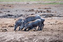 Warzenschweine / Warthogs