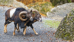 Two mouflons showing rivality