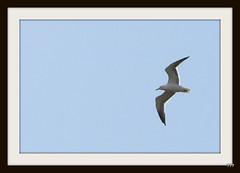 Gull overhead.