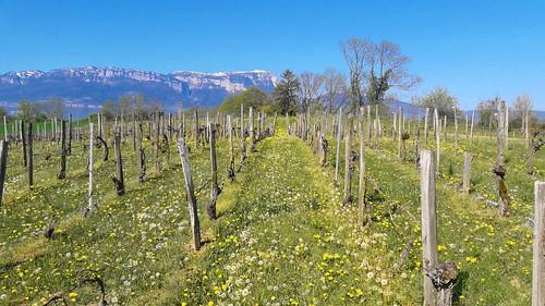 Vigne et Granier en Savoie