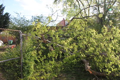 Fallen Tree in Carytown (Richmond, VA)