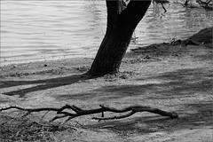 acacia - iii ..