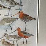 Godwits from @LionelGodwit 2