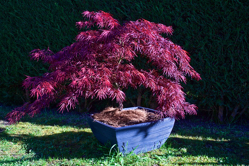 Erable du Japon. Japanese maple