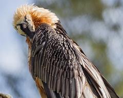 Bearded vulture grooming