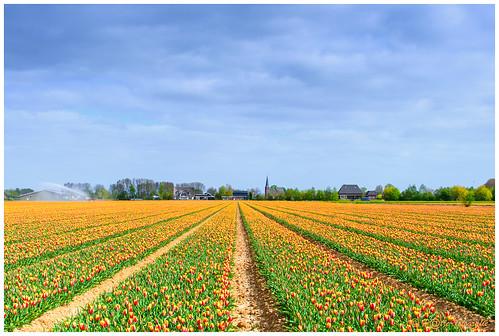 Tulpenveld om de hoek