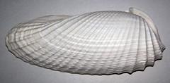 Cyrtopleura costata (angelwing clam shell) (Cayo Costa Island, Florida, USA) 2