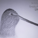 Godwit by Charlotte Dacre (@WholesomeEcol)