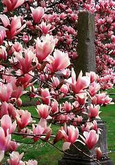"Cincinnati - Spring Grove Cemetery & Arboretum ""Old Obelisk Inside New Magnolias"""