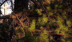 "Cincinnati - Spring Grove Cemetery & Arboretum ""Cross Through The Pine Needles"""