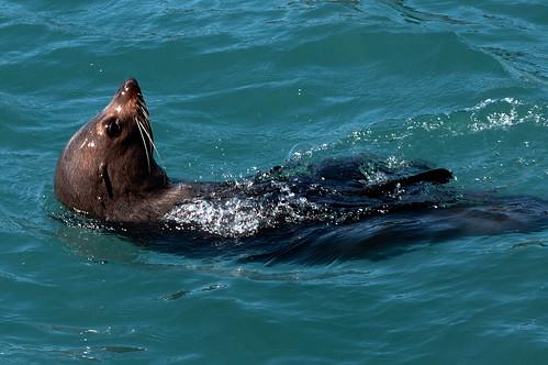 Fur seal basking