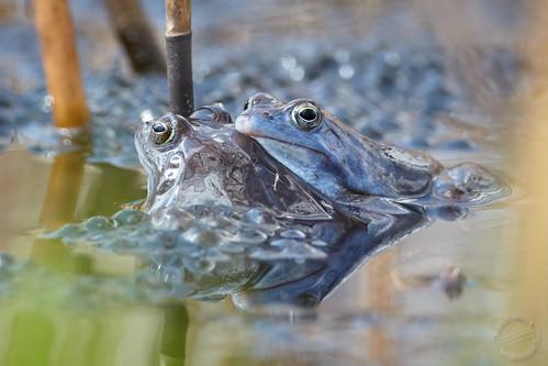 Moorfrösche - Moor frog - Rana arvalis