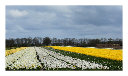 Narcisvelden Drenthe