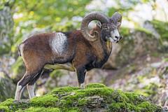Moufflon standing on the rock