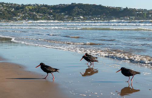 Oystercatchers on Buffalo Beach, Whitianga, New Zealand