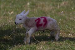 Lamb No 23 - Michael Jordan fan?