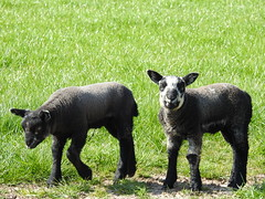 same lambs another day-local DSCN7450