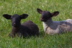 Sunbathing lambs 2