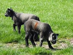 Lambs-local DSCN7454
