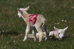 Lambs No 23 - Michael Jordan fan?