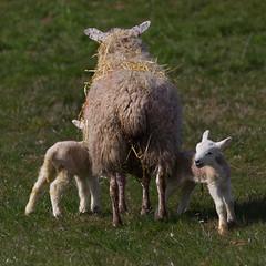Mum & lambs