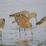 Godwits by Ian Rendall (@IRendall)