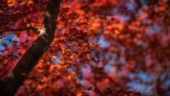 Fall-Like Japanese Maple