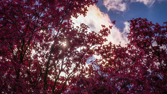 Sunstars and Pink Dogwoods