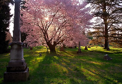 "Cincinnati - Spring Grove Cemetery & Arboretum ""Backlit Cherry Tree In The Grove"""