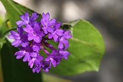 Coastal Heath Flower
