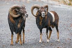 Two mouflons side by side