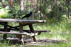 Young Raven at Awabakal