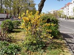 Berliner Pflanze