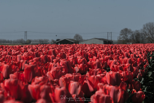 Red Tulps - Rode Tulpen