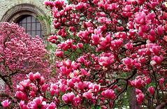"""Cincinnati - Spring Grove Cemetery & Arboretum """"Magnolias.....Overload"""""""