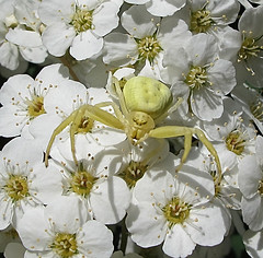 0388 crab spider on guard