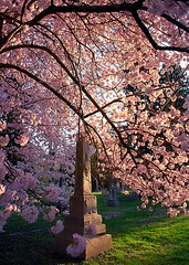 "Cincinnati - Spring Grove Cemetery & Arboretum ""Obelisk Inside Cherry Tree"""