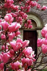 """Cincinnati - Spring Grove Cemetery & Arboretum """"Magnolias Come Knocking"""""""