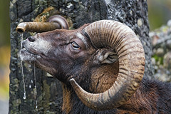 Mouflon drinking from the fountain