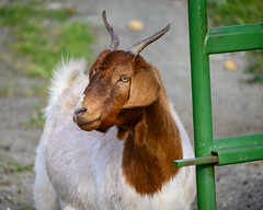Goat by the Gate