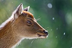 Backlit profile of a deer