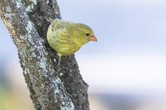 Small Bird on San Cristobal Island